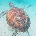 Link toSwimming with turtles in Curaçao