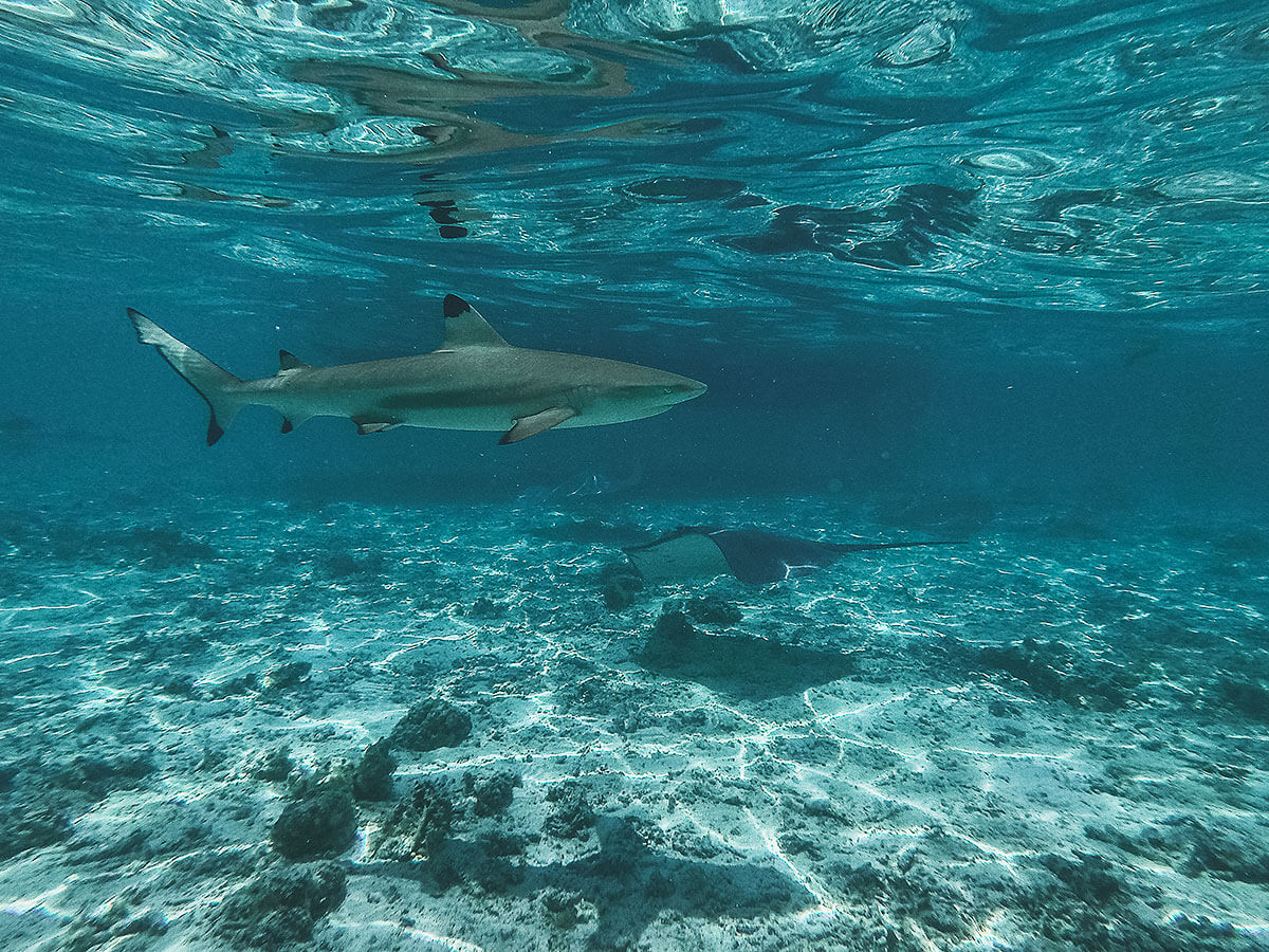 french-polynesia-swim-sharks © Will Travel for Food