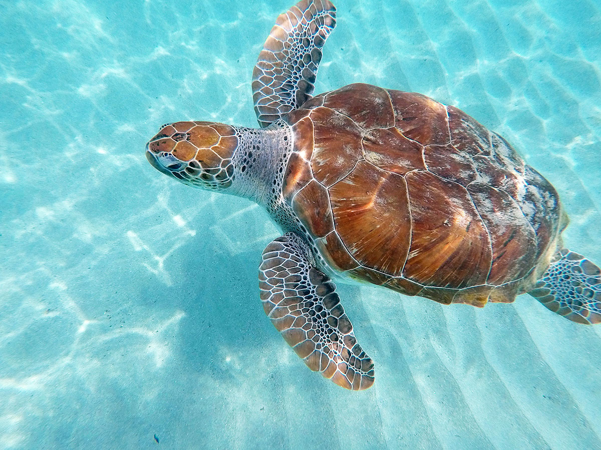 curacao-swimming-with-turtles © Will Travel for Food