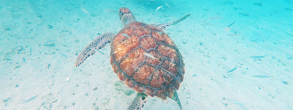 swimming-turtles-playa-piskado-curacao © Will Travel for Food