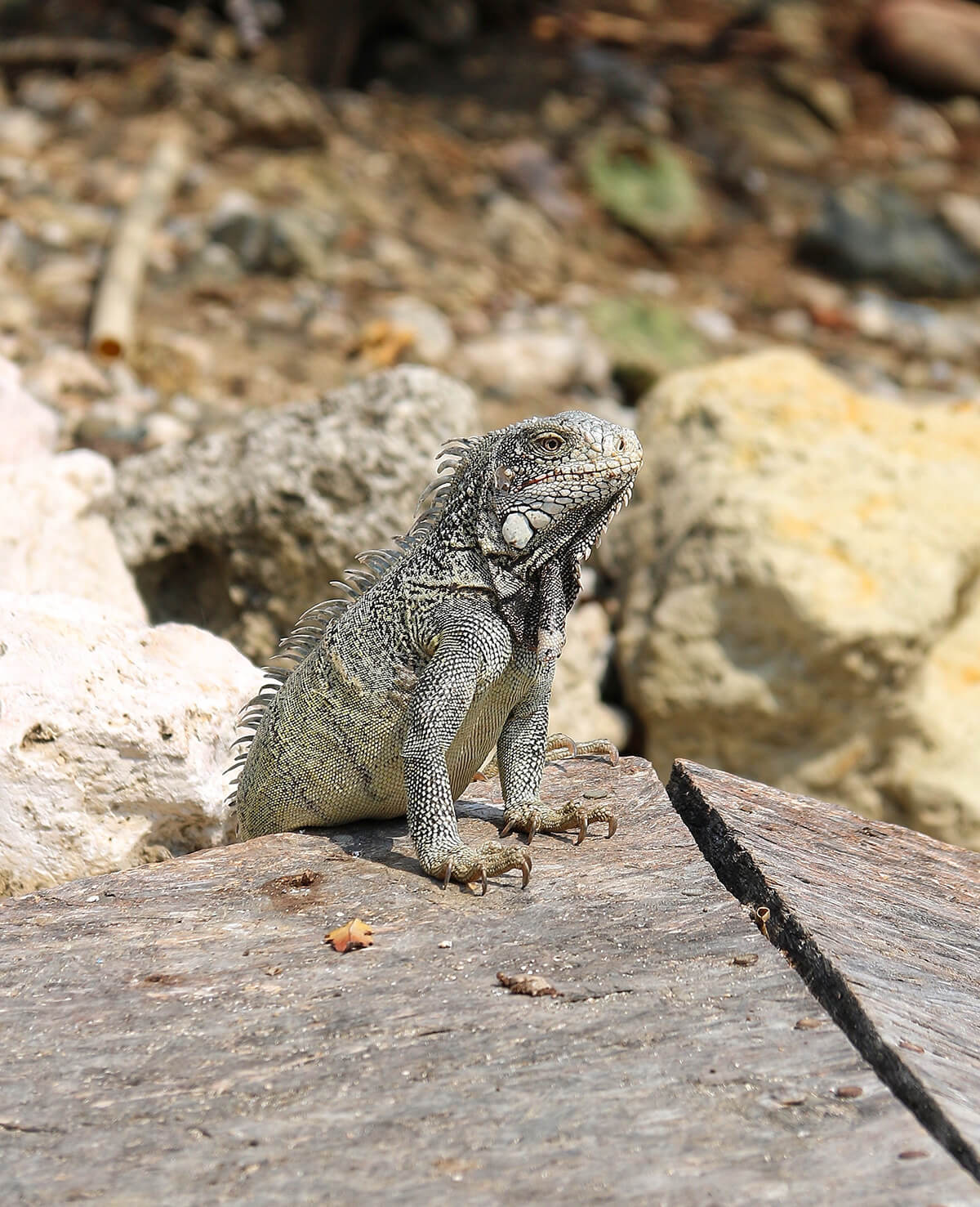 what-to-do-curacao-iguana © Will Travel for Food